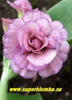 """Примула махровая ушковая """"КСАВЕР ЛАЙТ"""" (Primula auricula """"Xaver Light"""") махровая  нежно-розовая с сиреневым крапом по  лепесткам примула,  с ароматом, высота до 15см, цветет май-июнь.  НОВИНКА!  ЦЕНА 400 руб  (штука)"""