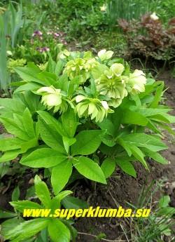 """МОРОЗНИК ВОСТОЧНЫЙ  МАХРОВЫЙ  """"Спринг квин""""  (Нelleborus """" Spring Queen"""")   Фото куста в конце цветения.  Цветы на растении держаться до 2-3х месяцев приобретая зеленоватый оттенок по мере отцветания.  Листва  плотная вечнозеленая тоже очень декоративна.   ЦЕНА 400 руб"""