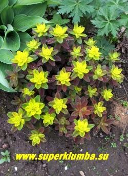 """МОЛОЧАЙ МНОГОЦВЕТНЫЙ """"Бонфайер"""" (Euphorbia polychroma """"Bonfire"""") новый очень эффектный сорт молочая с фантастическим сочетанием темно-пурпурных, красных и оранжевых тонов в листве. Цветет желтыми соцветиями в мае-июне. Высота 30-40 см НОВИНКА! ЦЕНА 350 руб"""