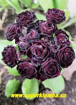 """Примула махровая ушковая """"МАКС"""" (Primula аuricula """"Max"""") черно-вишневая густомахровая , с ароматом, высота до 15см, цветет май-июнь,  в тени и в пасмурную погоду цветы практически черные, на солнце выглядят черно-вишневыми.  ЦЕНА 600 руб (штука)"""