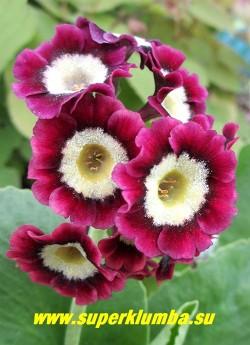 """Примула ушковая """"КРАСНО-МАЛИНОВАЯ"""" (Primula аuricula) красная с малиновым потемнением у основания лепестков и белой обсыпкой в центре, с ароматом, высота до 15 см, цветет май-июнь, НОВИНКА!  НЕТ В ПРОДАЖЕ"""