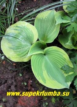 """Хоста ЭС ЭНДЖЕЛ (Hosta """"Earth Angel"""") размер L. Красивая крупная хоста с большими сине-зелеными сердцевидными листьями, окаймленными широкой зубчатой золотисто кремовой каймой, высота 45 см, цветы крупные почти белые.  Лучшая хоста 2009 года!  ЦЕНА 450 руб"""
