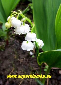 "ЛАНДЫШ МАЙСКИЙ  ""Хардвик  холл""  (Convallaria majalis Hardwick Hall) Цветы крупным планом.   РЕДКОЕ!  НОВИНКА!   ЦЕНА 250 руб  (1 шт)"