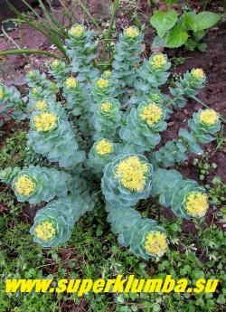 РОДИОЛА САХАЛИНСКАЯ (Rhodiola sachalinensis) низкорослая родиола с компактными невысокими 10-20 см стеблями с бирюзово-голубыми мясистыми листьями и щитковидными лимонными соцветиями. Цветет с середины мая. Чрезвычайно декоративна, зимостойка, но нуждается в дренированных почвах и солнечном месте. ЦЕНА 300 руб  РЕДКОЕ РАСТЕНИЕ.