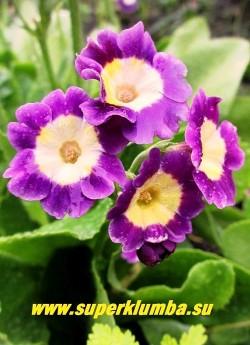 """Примула ушковая """"ЯРКО-СИРЕНЕВАЯ"""" (Primula аuricula) ярко-сиреневая с белым центром, с ароматом, высота до 15см, цветет май-июнь, ЦЕНА 200 руб (штука)"""