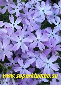 """ФЛОКС ШИЛОВИДНЫЙ """"Элис Вилсон"""" (Phlox subulata """"Alice Wilson"""")   в пасмурную погоду и  вечером в окраске появляются голубые оттенки.   НОВИНКА!  ЦЕНА  200-250 руб  (1 кустик)"""