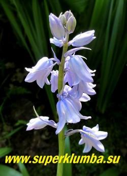 """СЦИЛЛА ИСПАНСКАЯ  """"БЛУ"""" (Еndymion hispanicus Blue)  голубые колокольчатые цветки 1,5-2 см в диаметре, собраны по 8-15 в прямостоячее, кистевидное соцветие на высоких до 30 см цветоносах, цветет вначале июня 15 дней, ЦЕНА 200 руб (3 шт)"""