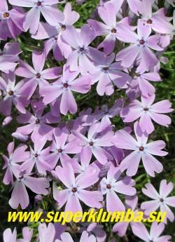 """ФЛОКС ШИЛОВИДНЫЙ """"Элис Вилсон"""" (Phlox subulata """"Alice Wilson"""") Вечнозелёные ковры толщиной 5-10 см, светло сиреневые с голубой дымкой цветы, диаметр цветка около 2 см, высота 10 см, цветет с конца мая около 30 дней   НОВИНКА!  ЦЕНА  200-250 руб  (1 кустик)"""