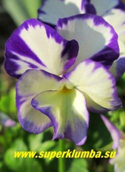 """ФИАЛКА  РОГАТАЯ """"Ребекка """" (Viola cornuta Rebecca)   Цветок крупным планом.  Предпочитает солнце или полутень.  Растет на любой хорошо дренированной почве.  НОВИНКА! ЦЕНА 250 руб (1 шт) НЕТ НА ВЕСНУ."""