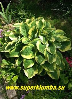 Хоста ВАЙД БРИМ (Hosta  Wide  brim) размер ML . Лист синезеленый с широкой кремовой каймой заходящей всполохами на центр листа , у взрослых растений лист жатый , Куст низкий и широкий, цветы лавандовые в плотном гиацинтовидном соцветии. ЦЕНА 250 руб