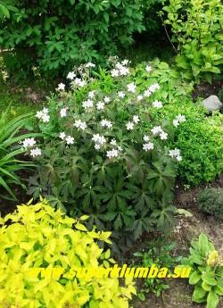 """ГЕРАНЬ ПЯТНИСТАЯ """"Эспрессо"""" (Geranium maculatum """"Espresso"""")  Цветущий кустик  в саду.  Во время цветения листва становится более зеленой.  ЦЕНА 200 руб (1 шт.)"""