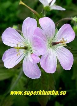 """цветы ГЕРАНИ ПЯТНИСТОЙ """"Эспрессо"""" (Geranium maculatum """"Espresso"""") Неприхотливая герань. Для усиления темной окраски листвы предпочительно солнечное место и плодородную почву. ЦЕНА 200 руб (1 шт)"""