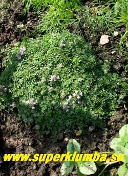 """ТИМЬЯН ПОЛЗУЧИЙ """"ЭЛЬФИН"""" (Thymus praecox 'Elfin'  /  Thymus drucei 'Minus')  самый маленький и компактный из  тимьянов .   НОВИНКА! ЦЕНА 300 руб (1 дел)"""