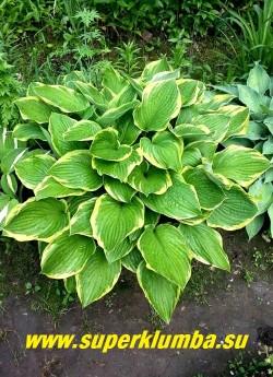 """Хоста  ФОРЧУНА АЛЬБОМАРГИНАТА  (Нosta """"Fortunei Aureomarginata"""") размер M-L. Широкоовальные, немного сердцевидные листья с заострённой верхушкой и выраженным жилкованием. Цвет листьев в начале сезона тёмно-зелёный с голубым оттенком, окаймленный жёлтой полосой, позже лист становится темно-зеленым с кремовым краем. Лавандовые цветки в плотных соцветиях.  ЦЕНА 150 руб (1 роз) или 400 руб ( куст 3-5 шт)"""