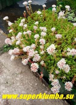 ОЧИТОК ЛИДИЙСКИЙ (Sedum lydium). не любит засуху, поэтому не годится для малых контейнеров, но отлично растет в цветниках  и у подножия горок.  ЦЕНА 150-200 руб (1 деленка)