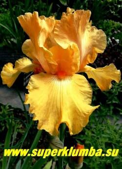 Ирис ФРИСНО КАЛИПСО (Iris Fresno Calipso) гофрированный крупный кадмиево-оранжевый, однотонный, бородка ярко-оранжевая, среднего срока цветения, высота 70 см. Награды: AM-82. ЦЕНА 250 руб