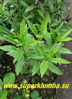 """Флокс метельчатый ГИЛТМАЙН (Phlox paniculata """"Giltmine"""")  Листья светло-зеленые с очень тонкой золотистой каймой. ! НОВИНКА! ЦЕНА 400 руб (1 шт)"""