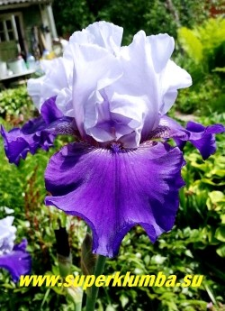 Ирис БЕСТ БЕТ (Iris Best Bet) крупный цветок с широкими плотными гофрированными лепестками на высоких цветоносах: нежно-голубые верхние и cине-гиацинтовые нижние, высота до 85 см, среднего срока цветения. Награды- HM »90, AM »93. Неприхотлив, прекрасно нарастает. ЦЕНА 150 руб или 250 руб (куст 2-3 шт)