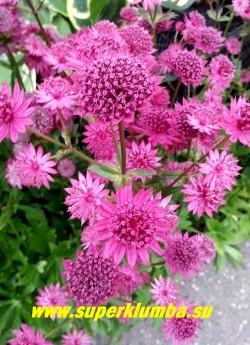 АСТРАНЦИЯ БОЛЬШАЯ « Венис» (Astrantia major «Venice»)  Новый сорт  астранции с ярко-малиновыми цветами! Очень длительное цветение июня по август, часто используется на срезку. Высота куста до 70см. НОВИНКА ! ЦЕНА  300 руб (1дел)