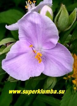 """ТРАДЕСКАНЦИЯ """"РОЗЕА"""" (Tradescantia """"Rosea"""") нежно-розовые цветы, диаметр цветка 5 см, цв. июнь-сентябрь, высота 35-40 см, НОВИНКА! ЦЕНА 200 руб (1 шт)"""