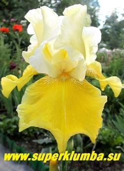 Ирис ТРЭНКУЙЛ САНШАЙН (Iris Tranquil Sunshine) гофрированные лимонно-белые верхние лепестки сочетаются с ярко- желтыми нижними, бородка желтая. Мощный, обильно и долгоцветущий. НОВИНКА! ЦЕНА 200 руб