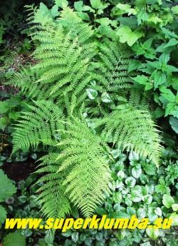 КОЧЕДЫЖНИК ЖЕНСКИЙ (Athyrium filix-femma)  Довольно крупный, до 100см в высоту неприхотливый папоротник с нежной, ажурной, тонко рассеченной листвой, контрастирующей с более грубым листом мужского папоротника, за что и получил свое название. Ваи собраны в розетку.  ЦЕНА 200-250 руб