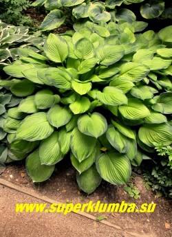Хоста ПАУЛЬС ГЛОРИ (Hosta Paul's Glory) размер ML. Желтый центр листьев окантован выразительной сине-зеленой каймой. Фактура листовой пластинки плотная. Цветы лавандовые, полутень- солнце. Названа хостой 1999 года . ЦЕНА 300 руб
