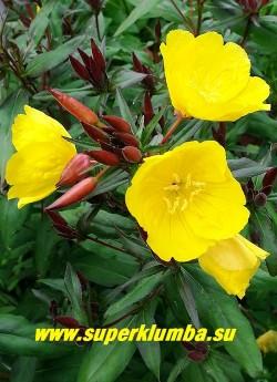 """ЭНОТЕРА  КУСТАРНИКОВАЯ """"Зонненвенде"""" (Oenothera fruticosa """"Sonnenwende"""")  Цветы крупным планом.  Этот сорт разрастается вширь плотным кустом.   НОВИНКА! ЦЕНА 250 руб  (1 дел)"""