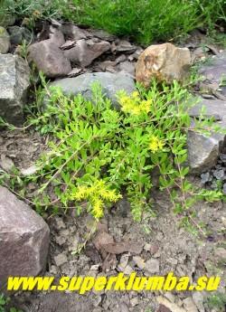ОЧИТОК ЛОЗОВИДНЫЙ (Sedum sarmentosum) Тонкие, гибкие, ползучие и укореняющиеся розовые стебли длиной до 30 см,  листья мелкие продолговатые, цветки желтые сидячие. Цветет весной и летом (май-июнь). Прекрасно декорирует склоны и каменистые стенки спускаясь зеленым каскадом. ЦЕНА 200 руб