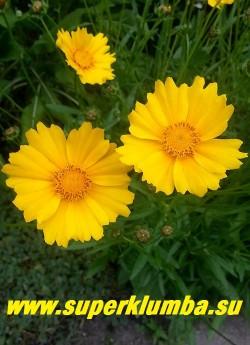 КОРЕОПСИС КРУПНОЦВЕТКОВЫЙ  (Coreopsis grandiflora) цветы крупным планом. НЕТ В ПРОДАЖЕ