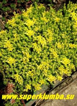 ОЧИТОК ЕДКИЙ «АУРЕУМ» (Sedum acre f.aureum)  менее обильное по сравнению с природным видом   цветение  с лихвой окупается яркой и нарядной листвой. НОВИНКА! ЦЕНА 150-200 руб (1 деленка)