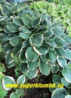 Хоста КРИСТМАС ТРИ (Hosta Christmas Tree) размер ML , название сорта означает «рождественское дерево». листья крупные жатые, сердцевидные сизо-зеленые с желто- кремовой каймой, цветки душистые светлосиреневые. ЦЕНА 200 руб -1 шт или 500 руб куст (3-4 шт)
