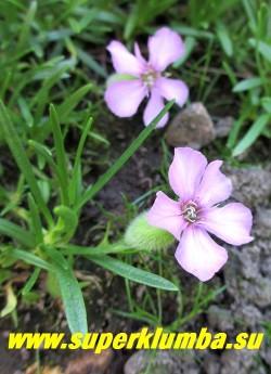МЫЛЬНЯНКА ОЛИВАНА (Saponaria x olivana) цветы крупным планом Растение неприхотливо, хорошо растет на солнце и в небольшом затенении. Требуется хороший дренаж. НОВИНКА! НЕТ В ПРОДАЖЕ
