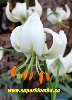 Лилия МАРТАГОН  Альбум   (Lilium martagon f. album) цветок крупным планом. НОВИНКА! ЦЕНА 500-600 руб (1 лук)