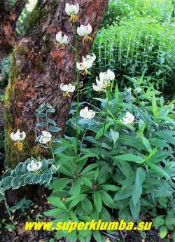 Лилия МАРТАГОН Альбум (Lilium martagon f. album) белоцветковая форма этой лилии. Цветы чисто белые с зеленоватым центром без крапа. Очень эффектна, как и ее традиционная форма.  Размножается медленно.  НОВИНКА!  ЦЕНА 500-600 руб (1 лук)