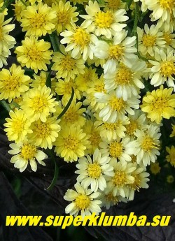 """СОЛИДАСТЕР ЖЕЛТЫЙ """"Леморе"""" или БИСЕРНАЯ АСТРА (Solidaster luleus """"Lemore"""") Цветы крупным планом. Мелкие цветочки канареечно-желтые в начале роспуска и светлеющие до светло-лимонного цвета в конце, диаметром 1-1,5см. Хорошо стоит в вазе. НОВИНКА! ЦЕНА 200 руб (делёнка)"""