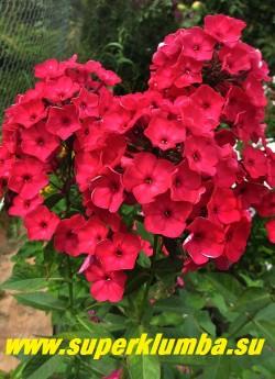 Флокс метельчатый КРАСНАЯ ШАПОЧКА (Phlox paniculata Krasnaya shapochka) цветущий куст в саду всегда привлекает  внимание! Очень яркий и нарядный. ЦЕНА 300 руб (1шт) или 600 руб (кустик: 3-4шт)