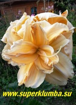 Лилейник САВАННА ДЕБЮТАНТ (Hemerocallis Savannah Debutante) абрикосовый, махровый красивой формы цветок с гофрированными краями, диаметр 15 см, высота 70см, продолжительное цветение, награды  НМ-03, AM-07. ЦЕНА 500 руб (1шт)