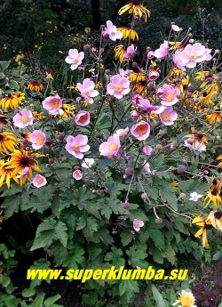 """АНЕМОНА ГИБРИДНАЯ """"Септембе Чарм"""" (Anemone × hybrida """"September Charm"""") Красивая травянистая осеннецветущая анемона с ветвистыми стеблями до 80 см высотой . Листья трижды перисто-рассеченные, цветы крупные  розовые. Цветет с августа 35-40 дней. НОВИНКА!  ЦЕНА  200-250 руб  (делёнка)"""