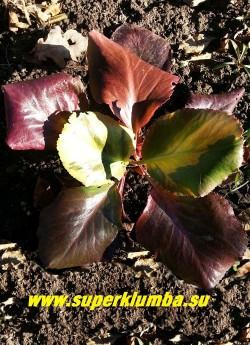 """БАДАН ГИБРИДНЫЙ """"Солар Флэр"""" (Bergenia hybride """"Solar Flare"""") Весенняя окраска листвы с розово-креветочным оттенком.   НЕТ  В ПРОДАЖЕ"""