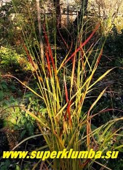 ПРОСО ПРУТЬЕВИДНОЕ РОТШТРАЛЬБУШ (Panicum virgatum Rotstrahlbusch)   окраска листвы в августе  становится особенно нарядной.  В ней преобладают  красно-бордовые оттенки.  НЕТ В ПРОДАЖЕ