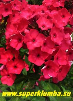 Флокс метельчатый КРАСНАЯ ШАПОЧКА (Phlox paniculata Krasnaya shapochka) Сухоручкина Л.Н, РС, 80/3,7. Красно-бордовый. Соцветие округло-коническое, среднее, плотное. Куст прямостоячий, сомкнутый, довольно прочный. Очень яркий и нарядный, прекрасно нарастает!. НОВИНКА! ЦЕНА 300 руб (1шт) или 600 руб (кустик: 3-4шт)