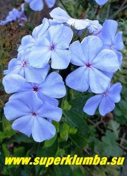 На фото флокс НЕЗАБУДКА ранним утром- небесно-голубого цвета. ЦЕНА 300 руб (1 шт)  или 500 руб (кустик: 3-4 шт)