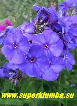 Флокс метельчатый СИНЕЕ МОРЕ  (Phlox paniculata Sineje More)  цветы крупным планом.  ЦЕНА 250 руб (1 шт) или 500 руб (кустик :3-4 шт)