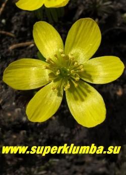 ЭРАНТИС КИЛИКИЙСКИЙ (Eranthis cilicica) Цветок крупным планом. НЕТ  В ПРОДАЖЕ