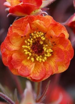 """ГРАВИЛАТ  """"Алабама Сламмер"""" ( Geum hybride """"Alabama slammer"""") Сортосерия «Cocktails»  полумахровые оранжевые цветки с оранжево-красными  кончиками на бордовых стеблях. Высота 30-40см. Цветет с конца мая постоянно в течение 3-4 недель. НОВИНКА! ЦЕНА 350 руб (1 делёнка)"""