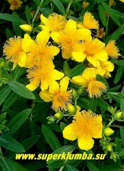 ЗВЕРОБОЙ КАЛЬМАНА/ГУСТОЦВЕТКОВЫЙ «Гемо»   (Hypericum kalmianum/densiflorum  Gemo) Соцветие крупным планом.  Растет умеренно быстро.  Светолюбив, морозостоек, в суровые зимы может подмерзать, но быстро восстанавливается от корня. Малотребователен к плодородию и влажности почвы. НЕТ В ПРОДАЖЕ.