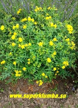 """ЗВЕРОБОЙ КАЛЬМАНА/ГУСТОЦВЕТКОВЫЙ """"Гемо""""   (Hypericum kalmianum/densiflorum  Gemo)  Невысокий пышный кустарничек. Высота 50-80 см.  Листья вечнозеленые, ланцетные. Цветет  очень обильно с июля по сентябрь. Цветки крупные, золотисто-желтые, многочисленные в густых соцветиях.  НЕТ В ПРОДАЖЕ."""