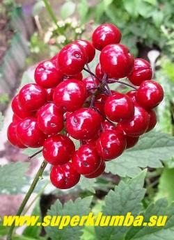 ВОРОНЕЦ КРАСНОПЛОДНЫЙ (Actaea erythrocarpa)   плоды крупным планом. Перспективное неприхотливое растение для тени и полутени. ЦЕНА 300 руб