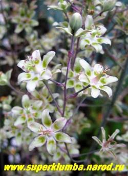 на фото соцветие ЗИГАДЕНУСА ИЗЯЩНОГО (Zigadenus = Anticlea elegans) крупным планом. Цветет в начале лета. Зимостойка, предпочитает солнце-полутень , влажные плодородные почвы. Редкое в садах элегантное растение. НОВИНКА! ЦЕНА 300 руб
